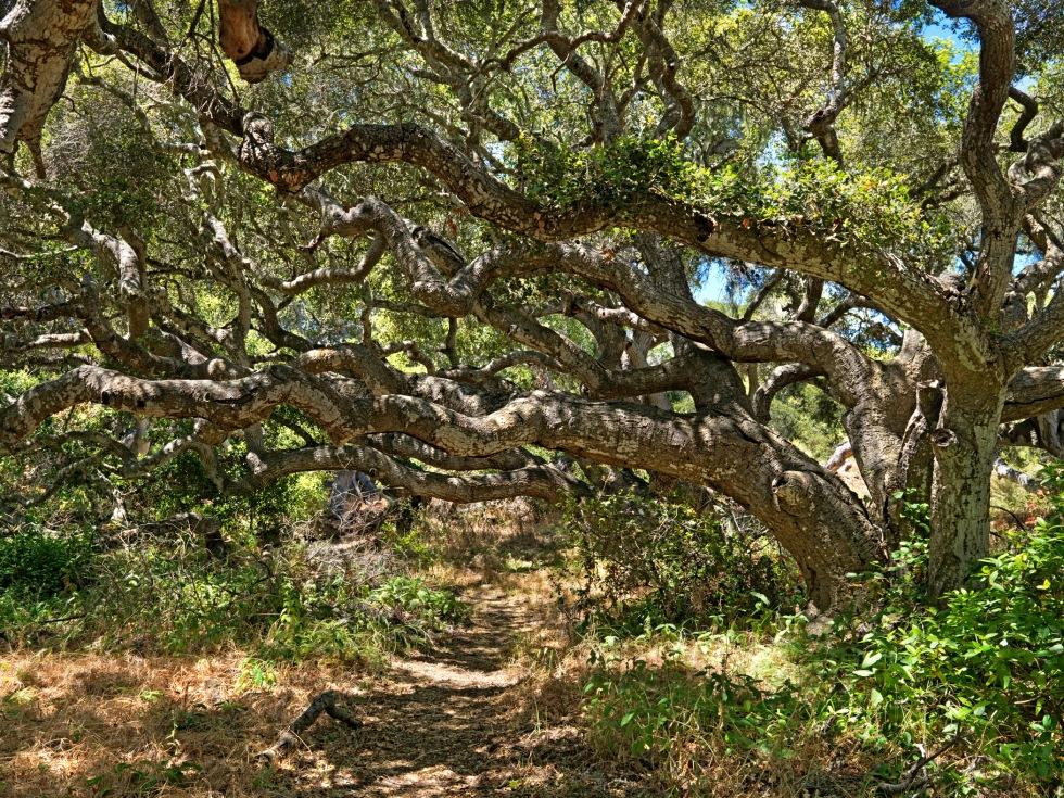 090-P69669_Los_Osos_Oaks©2010, California State ParksPhoto by John Palmer